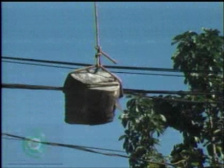 """""""Jeitinho brasileiro"""" dos podadores de árvores de Cambé (Vídeo)"""