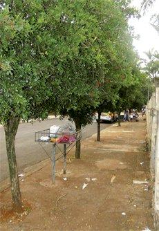 Muito comum nas ruas de Cambé, a Murta é uma planta proibida