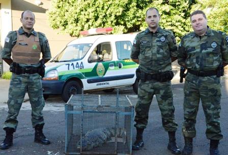 Polícia Militar Ambiental de Londrina resgata jacaré que matou dois cachorros de propriedade rural em Arapongas.