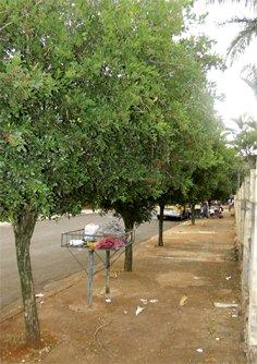Erradicação da Murta em Cambé