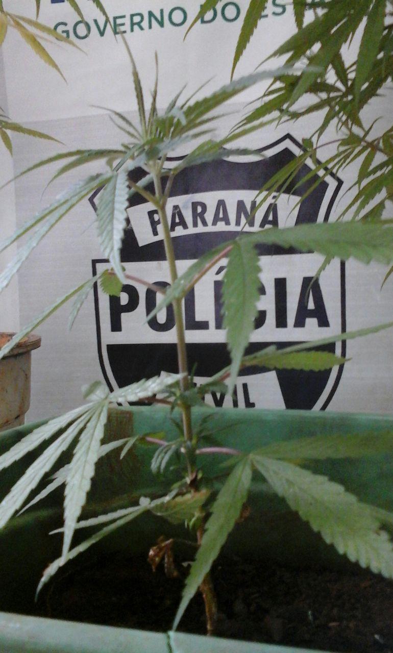 Polícia Civil de Cambé apreende menor com plantação de maconha em casa