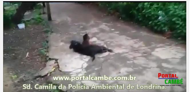 Polícia Ambiental tenta capturar macaco na região do Jardim Ana Rosa em Cambé