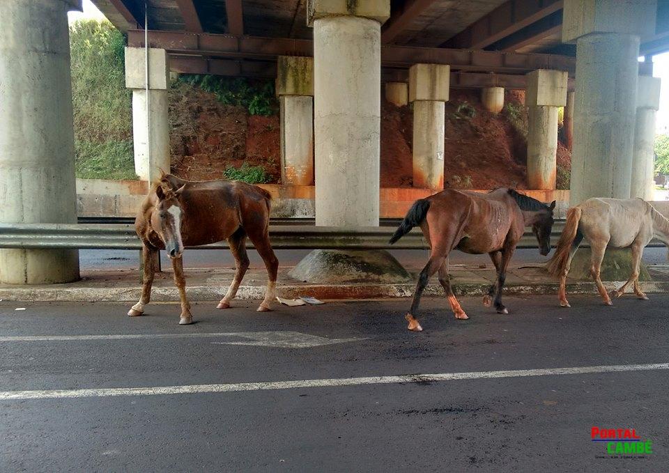 Cavalos soltos nas ruas preocupam moradores de Cambé