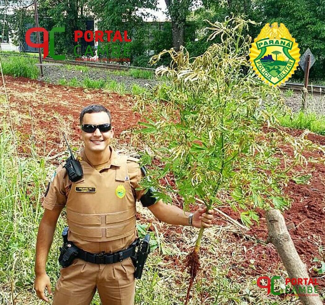 Policiais Militares destróem pé de maconha no Jardim Tupi em Cambé