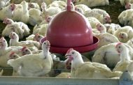 Ministro da Agricultura diz que não há risco no consumo de aves no país